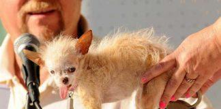 Yoda perro mas feo del mundo