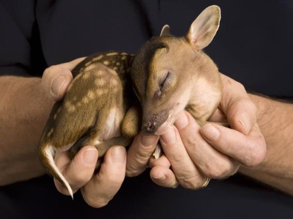 ciervo bebe