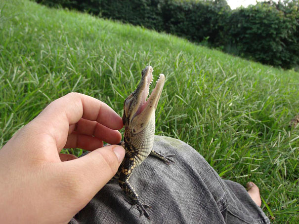 cocodrilo bebe