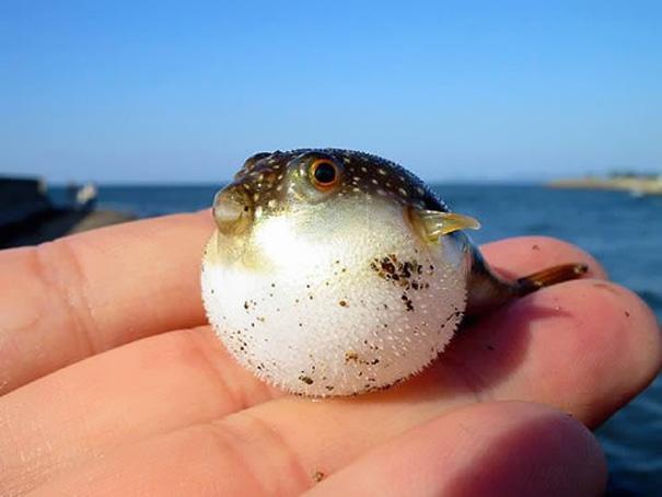 pez globo bebe