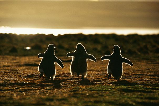 pinguinos bebe